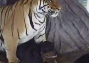 Big tiger is trying to fuck a black dog